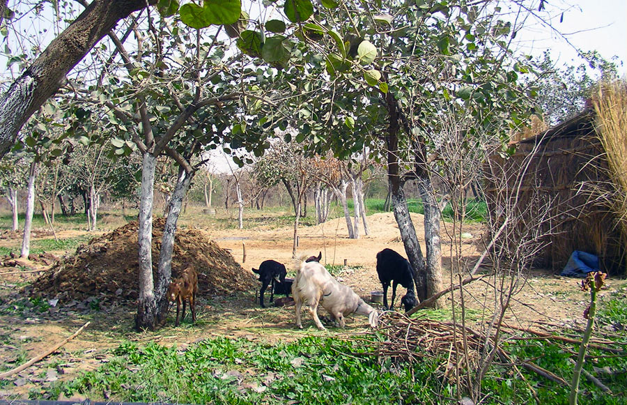 Resident goats for more fresh milk