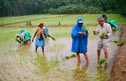 Volunteering on the rice paddies